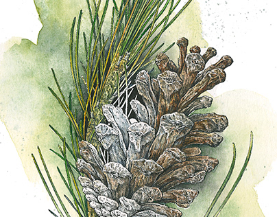 Pine Cone - Illustration