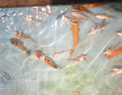 fish 鯉魚