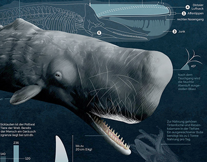 Sperm Whale, Infographic