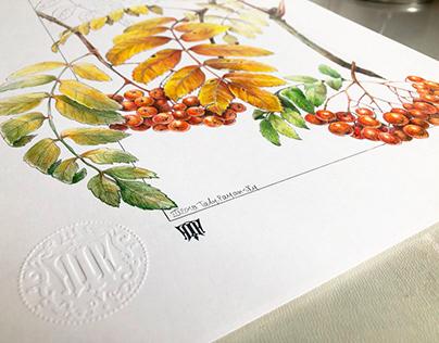 SORBUS. Botanical Art