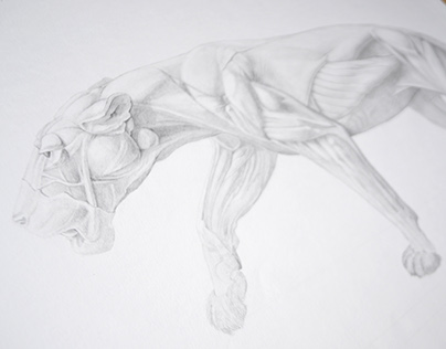 Musculoskeletal system of the lion