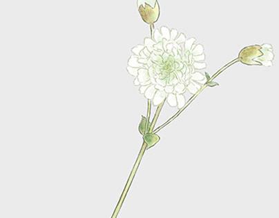 "Silene uniflora ""Swan Lake"""