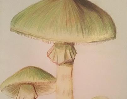 Death Cap (Amanita Phalloides) illustration