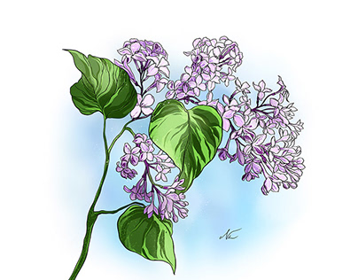 Lilac flower illustration + wip video