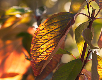 Glowing Russet Leaves