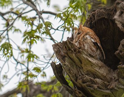 Owl and Telephoto Lens