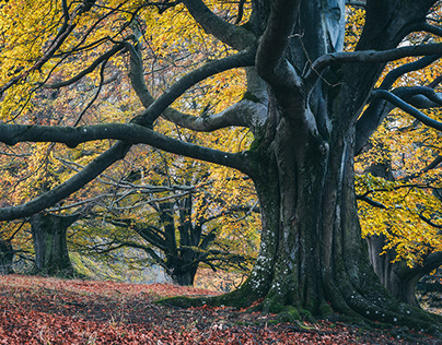 Forest of the giant beech trees