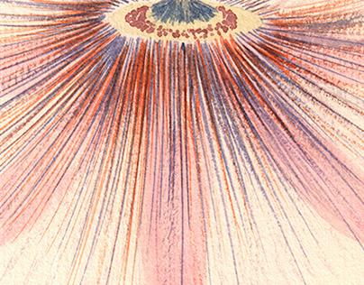 Rose passiflora
