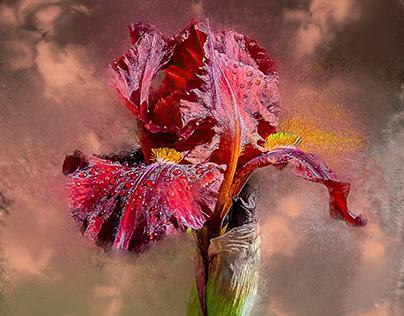 Red, Purple and Yellow Iris