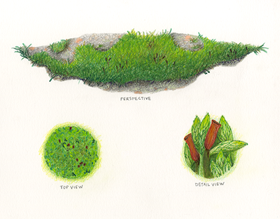 Moss [Analytical Drawing]