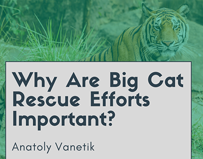 Why Are Big Cat Rescue Efforts Important?