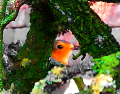 Red Robin Looking through Hedge (2016)
