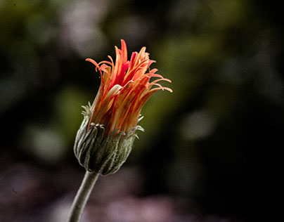 Qld flowers