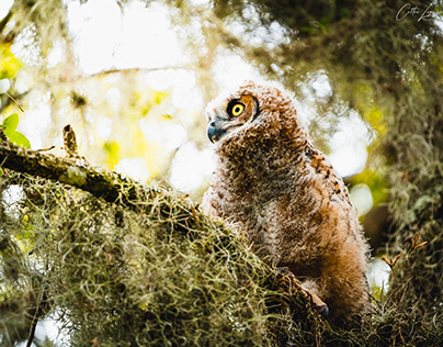 Great Horned Owlets March 2021
