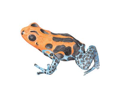 Dendrobate frog