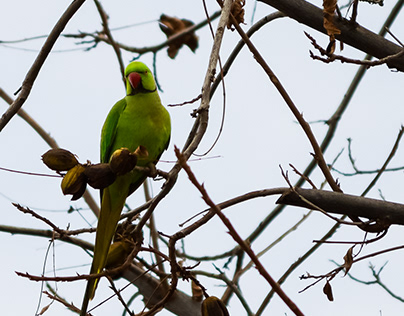 Rose-ringed Parakeets in a Pecan Tree