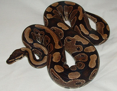 Looking for a Starter Pet Snake? Try the Ball Python
