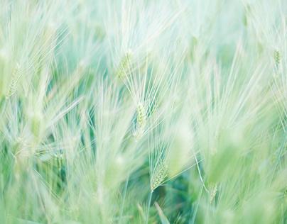 Carpet of Barley /Plant energy