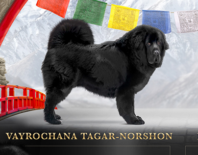 advertise of Tibetan Mastiff