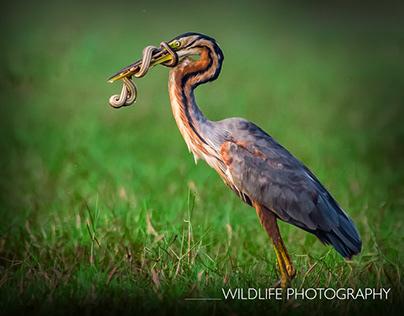 Wildlife Photography & Editing
