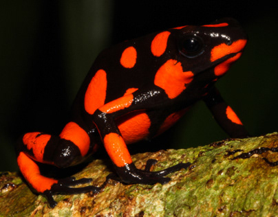 don the Poison Dart Frog