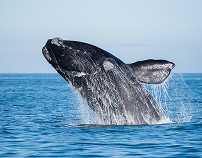 Sony x Parley | The Southern Right Whales