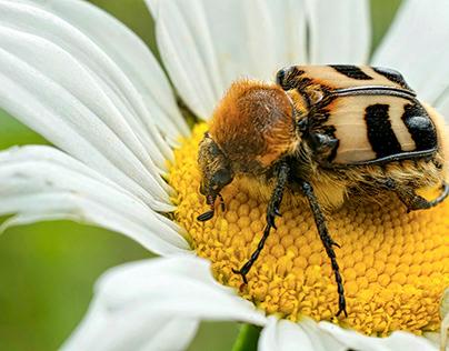 210613 Eurasian bee beetle – Chiemgau