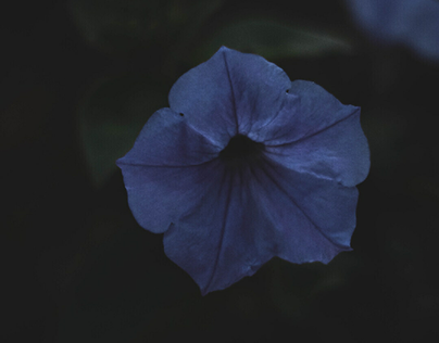 Macro of a Petunia