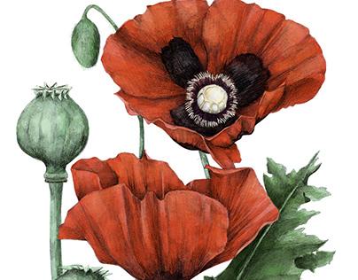 Botanical Illustrations: Medicinal Garden