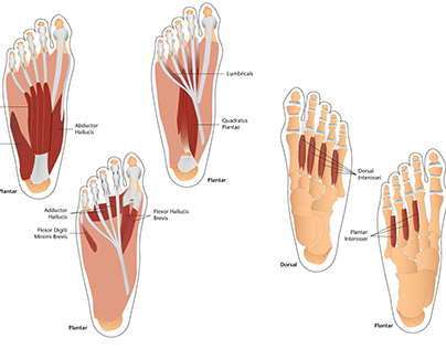 Foot Muscles Illustration