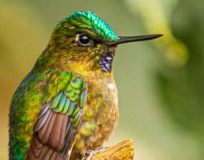 Aves de Nanegalito - Nanegalito birds