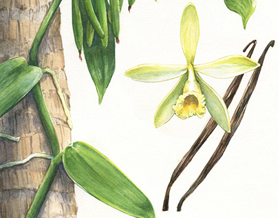 Vanilla Orchid for Sabor Journal