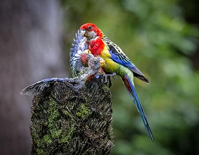 Parrots of Zealandia Exhibition 2018