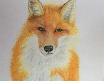 Fox illustration in colour pencil