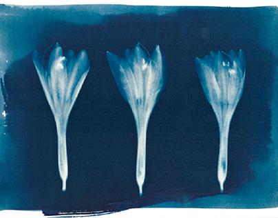 Cyanotype-Flora