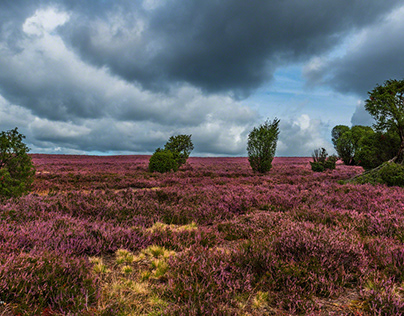 The heather blossoms - a dream in purple