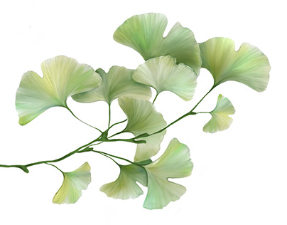 Ginkgo Biloba plant beautiful leaves