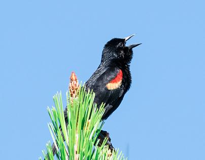 Singing Redwing