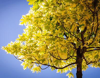 Botanical photo of maple