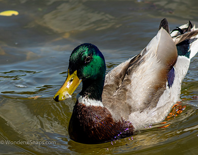 Male duck swimming on the lake