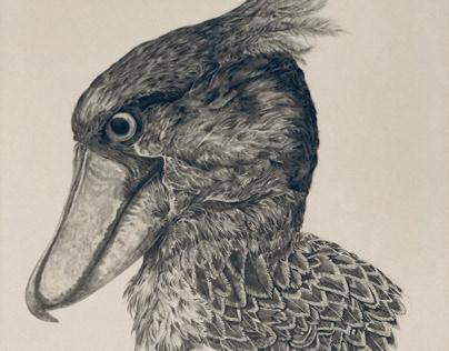 Shoebill Stork Pencil Illustration