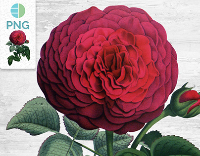 RED ROSE CLIPART Remontant Rose