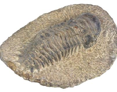Prehistoric trilobite fossil