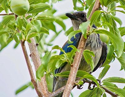 California Scrub Jay in a Plum Tree