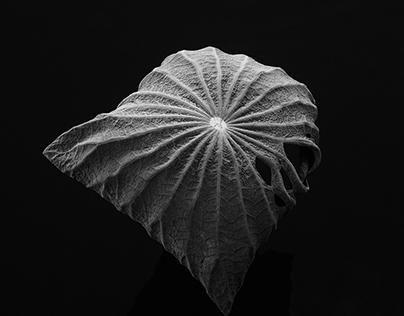 荷叶/Lotus