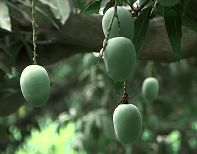 Where Life Depends on Mangoes