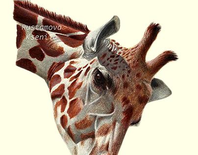 Color pencil drawing. Giraffes