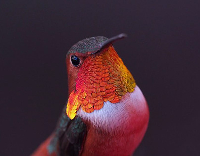 Humming Bird Photography
