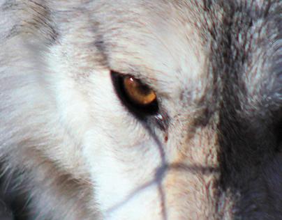 The Lakota Wolves