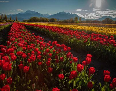 Tulipanes de Trevelin, Chubut, Argentina